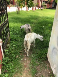 Loose lawn goats